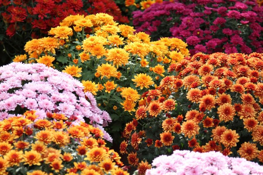 Az ezerarcú krizantém - a legpompásabb őszi virág
