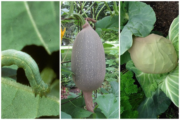 A legviccesebb biopraktika a kiskertben. Védekezz a kártevők ellen harisnyával!