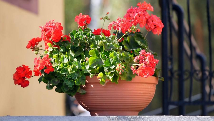 Követtem Bálint gazda tanácsait és ezt teszem a muskátlikkal a melegben! Azóta is folyamatosan virágzik minden tő!
