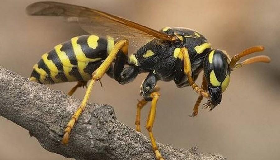 A darazsaknak igazságtalanul rossz a hírük! Ugyanolyan hasznosak, mint a méhek!