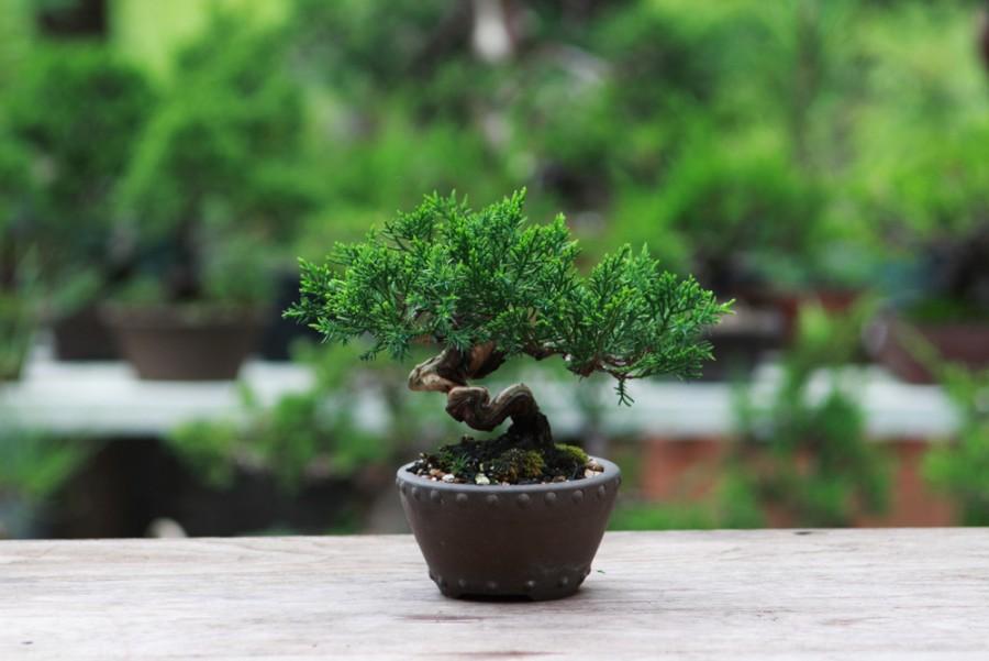 A titokzatos bonsai
